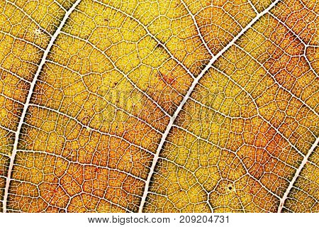 Texture of an autumn leaf