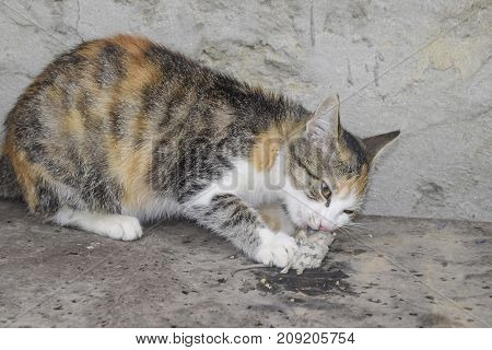 The Cat Caught The Mouse. Natural Extermination Of Mice, Cats