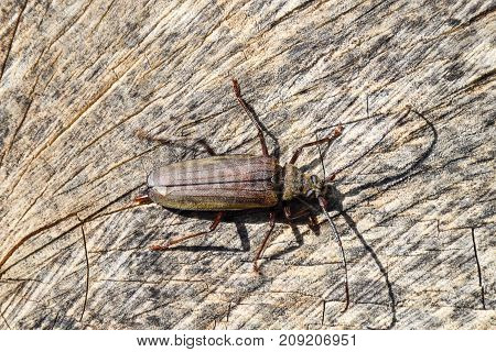 Beetle bark beetle. Imago of an insect. Beetle with long antennae