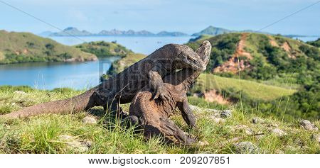 The Fighting Of Komodo Dragons (varanus Komodoensis) For Domination. It Is The Biggest Living Lizard