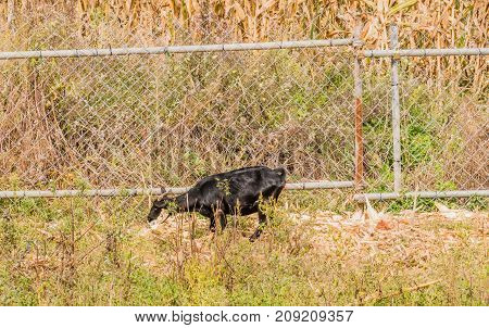Single Black Goat Standing Next To Fence