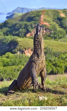 The Komodo Dragon (varanus Komodoensis) Stands On Its Hind Legs And Open Mouth. It Is The Biggest Li