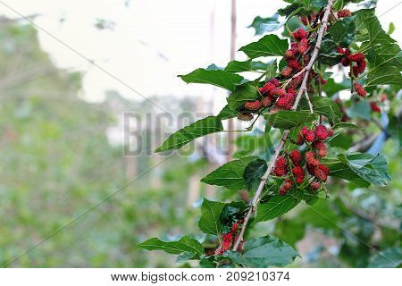 Red unripe mulberries on the branch in dawned bright and sunny day. Mulberry plantation poster