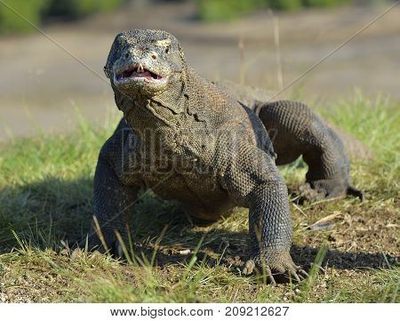The Komodo Dragon ( Varanus Komodoensis ) Raised The Head And Opened A Mouth. It Is The Biggest Livi
