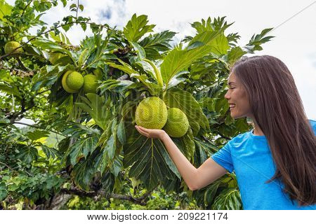 French Polynesia travel tourist woman visiting island looking at local fruit tree in Tahiti. Breadfruit is a species of flowering trees in the mulberry and jackfruit family in Oceania.