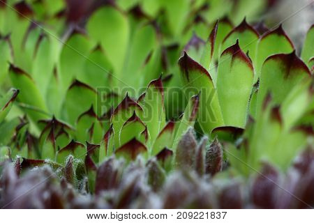 At the sight of sideways large sempervivum with petals it is light green color and brown edge above create an abstraction picture.