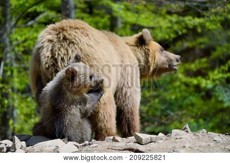 Close brown bear with cubs in forest