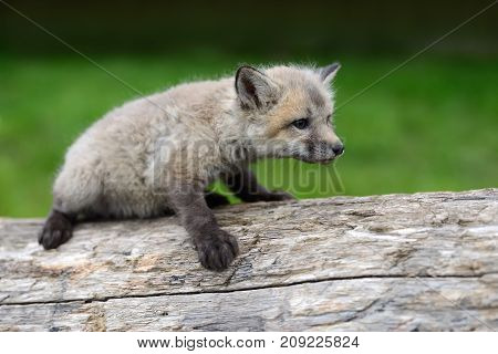 Close up silver fox cub in grass