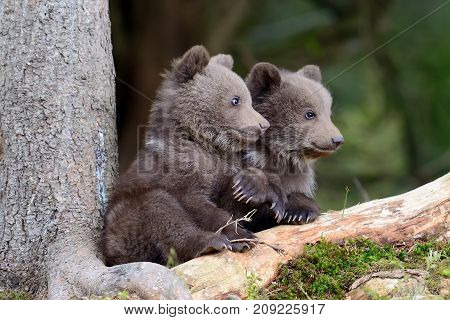 Wild brown bear cub close up in forest
