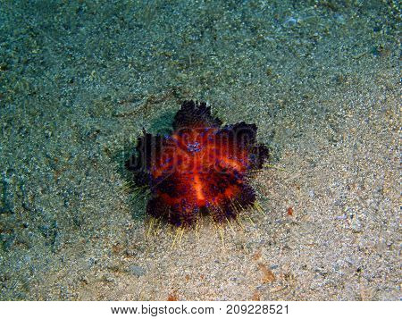 The amazing and mysterious underwater world of the Philippines, Luzon Island, Anilаo, sea urchin