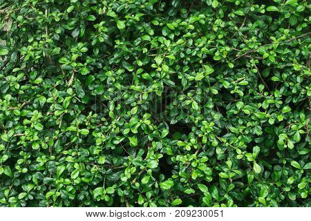 Green soft and dark tiny leaves background