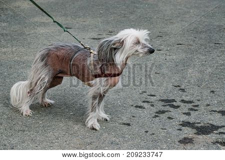 Dog breed Chinese crested closeup on the background of the tarmac with a rope, side view