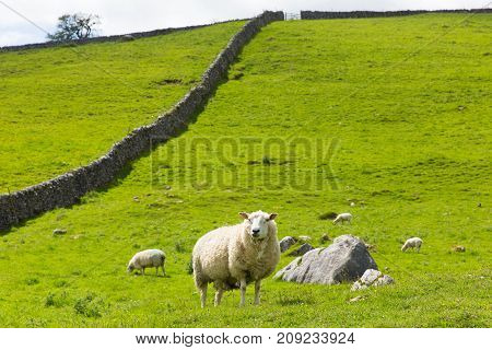 Sheep and dry stone wall in Yorkshire dales National Park England UK