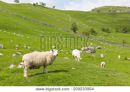 Yorkshire dales National Park England UK sheep and countryside view