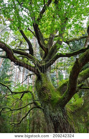 Old oak cowered with green moss in forest.