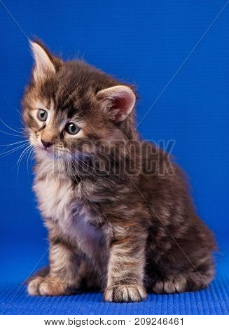 Cute little siberian kitten over blue background