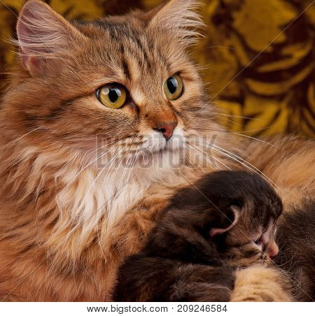 Lovely siberian cat with little kitten in the wicker basket over dark background