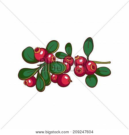 Hand drawn colorful cowberry isolated on white background. Vector illustration