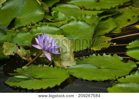 Waterlily In Bloom