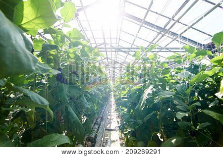 All year round tomatoes growing on plantation in greenhouse