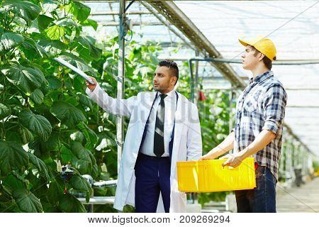 Owner of greenhouse asking one of workers to take special care of new sort of cucumbers