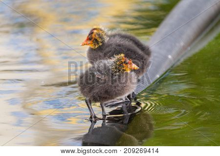 Close-up of little Coots at the Lake. View on a beautiful young Coots in the Water. Moorhens and Coots. Nature and Animal Backgrounds.