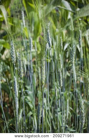 Young blue-green sprouts rye close-up. At the farm field, a sunny day. Vertical