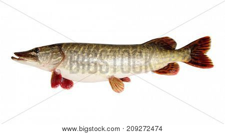 Pike isolated on white background