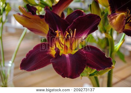 Lily of maroon color with striped petals, a yellow core and red stamens. Close-up on the background of the greenhouse