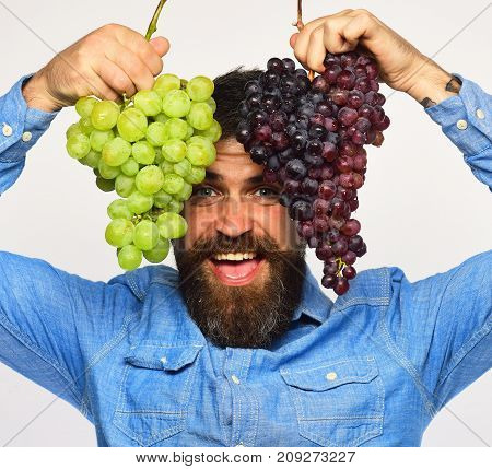 Viticulture And Gardening Concept. Man With Beard Holds Grapes