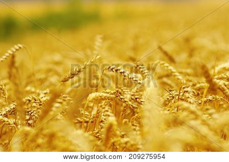 Background of ripening ears of wheat.