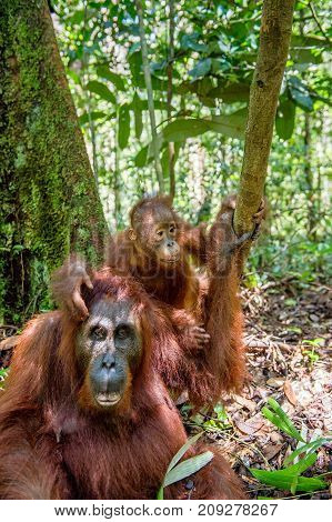 On A Mum`s Back. Baby Orangutan On Mother's Back In A Natural Habitat. Bornean Orangutan (pongo Pygm