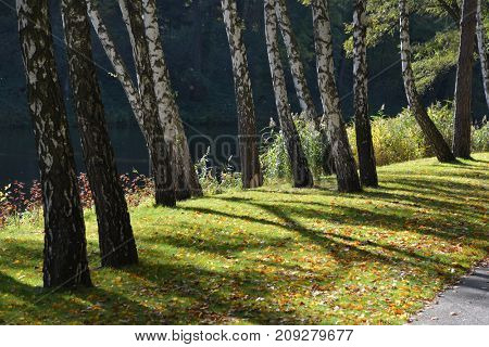 autumn birches on the shore of the lake