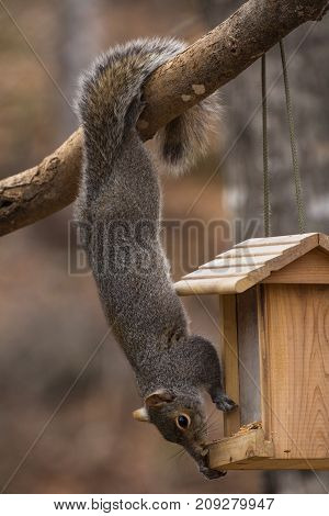 Using his tail as an anchor, this grey squirrel is hanging upside down from a branch stealing birdseed from a cedar bird feeder hanging in the tree. Very acrobatic pose, shot is vertical.