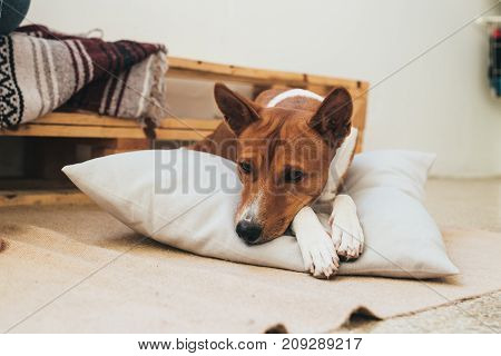Cute and adorable brown basenji breed dog rests on designer pillow inside apartment waits for owner to take him out for walk