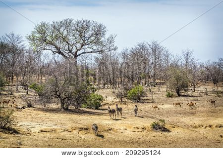 Plains zebra and common impala antelopes in Kruger national park, South Africa