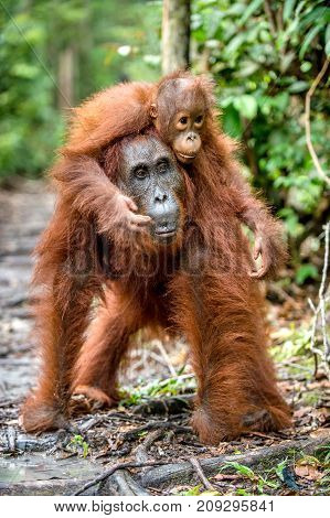 On A Mum`s Back. Baby Orangutan On Mother's Back In A Natural Habitat. Bornean Orangutan (pongo Pygm