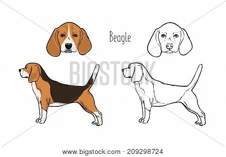 Bundle of colored and monochrome contour drawings of head and full body of Beagle dog, front and side views. Beautiful pet animal of short-haired breed, scent hound. Realistic vector illustration