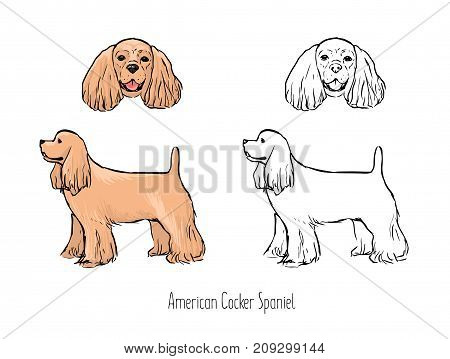 Bundle of colorful and monochrome line drawings of head and full body of American Cocker Spaniel, front and side views. Elegant show dog of long-haired breed. Realistic vector illustration
