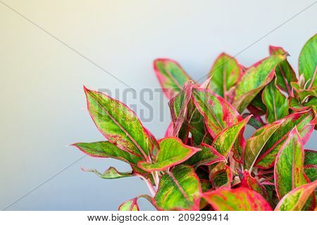 Beautiful Aglaonema (genus of flowering plants in the arum family) for nature background or texture space for your content.