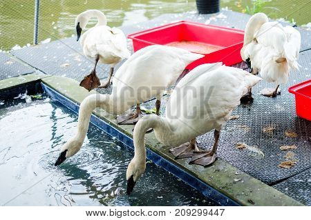 White gooses drinking water on the floor and near pond water at Kwan-Riam floating market - Bangkok Thailand for animal background or texture.