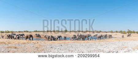 Panorama of a large herd of African elephants Loxodonta africana at a waterhole in Northern Namibia