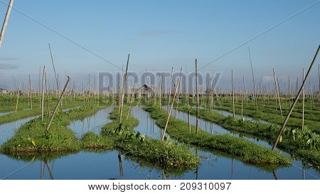 Agriculture at Inle lake floating garden in Intha viillageInleMyanmar