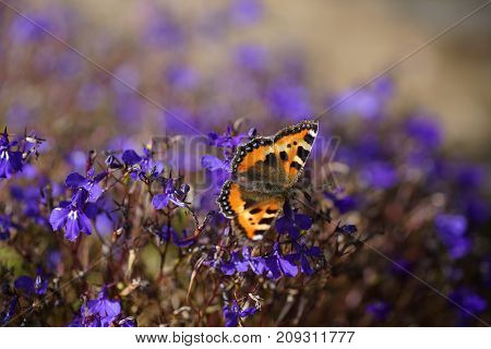 the lonely butterfly on the blue flower is Lobelia in autumn garden