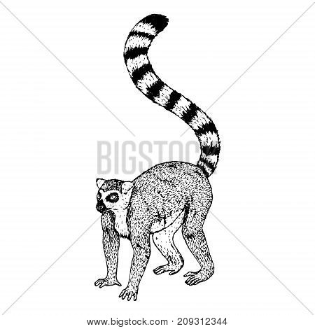 Hand drawn lemur. Retro realistic animal isolated. Vintage style. Doodle line graphic design. Black and white drawing mammal. Vector sketch.