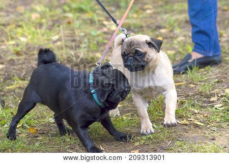 two pugs, light and dark play with each other. Space under the text. 2018 year of the dog in the eastern calendar. Concept: parodist dogs, dog friend of man, true friends, rescuers.