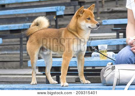 Laiki is a common name for the breeds of hunting dogs in the northern forest zone of Europe, Asia and North America. Refers to a group of Spitz.. Space under the text. 2018 year of the dog in the eastern calendar Concept: friend, protection, loyalty, vigi