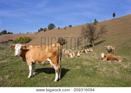 Cows resting on field in hills. Organic dairy cattle breeding