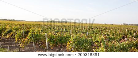 Grapevine Cultivation In The Bordeaux Countryside In A Stormy Summer Day