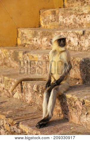 Young gray langur sitting on the stairs in Amber Fort Jaipur Rajasthan India. Gray langurs are the most widespread langurs of South Asia.